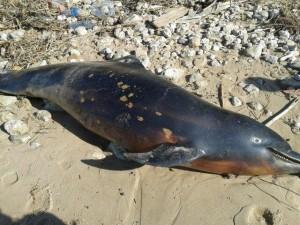 delfino morto Torre di Gaffe